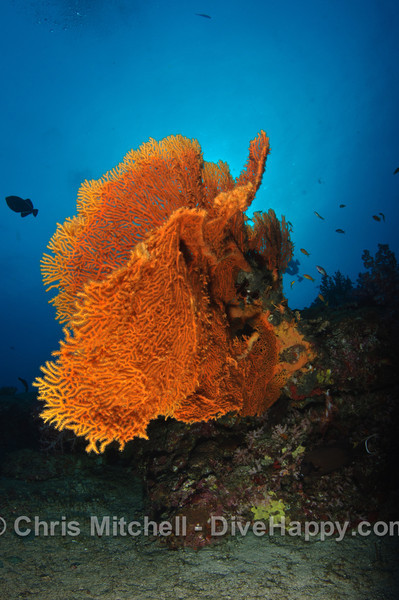 Fan coral with the morning sun rising behind it at Elephant Head Rock, Similan Islands, Thailand
