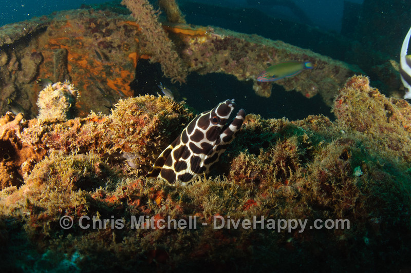 Honeycomb Moray Eel on the Boonsung Wreck, Similan Islands, Thailand