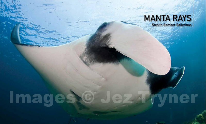 Manta Rays chapter opening spread from the book Thailand's Underwater World