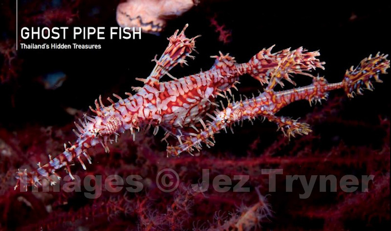 Ghost Pipe Fish chapter opening spread from the book Thailand's Underwater World