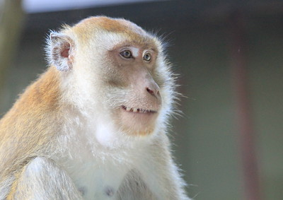 Some sort of Macaque