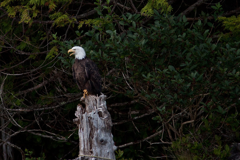Eagle in Bamfield BC
