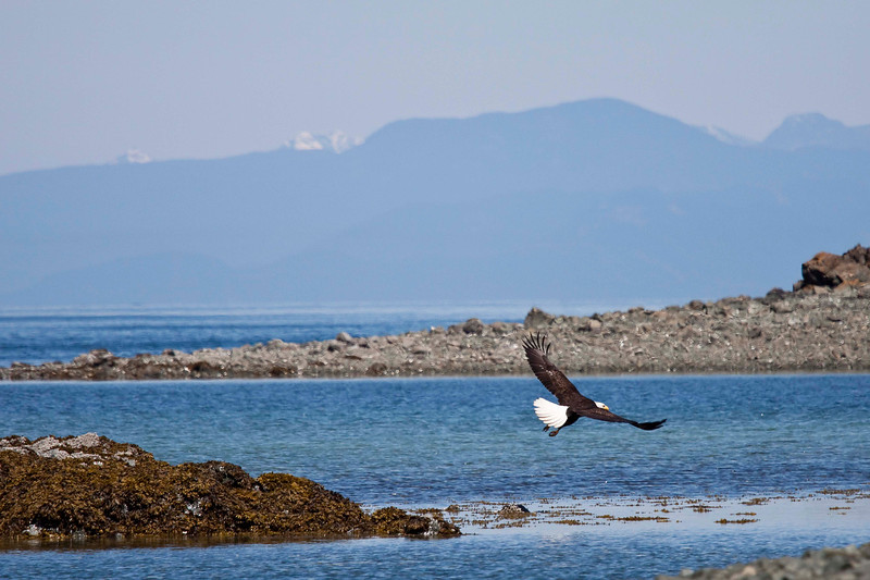 Eagle at Pipers Lagoon