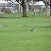 Again with the geese.  Back in September I found a flock on treasure island in the middle of the Bay bridge.