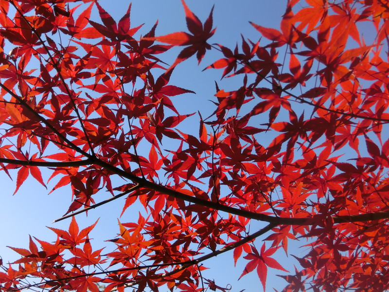 Red leaves in autumn, Fall in Korea