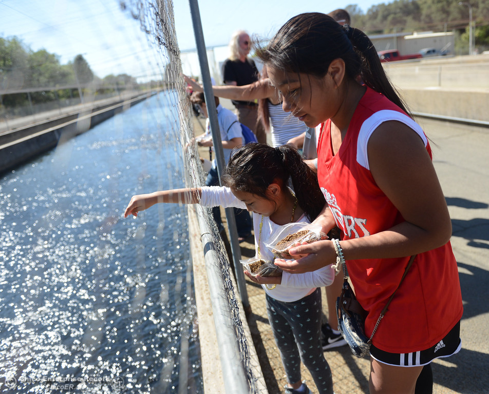 . Saira Castaneda, 13, and Maryle Saelee, 6, feed  steelhead salmon fry during the 23rd Annual Oroville Salmon Festival September 23, 2017 at the Feather River Fish in Oroville, California. (Emily Bertolino -- Mercury Register)