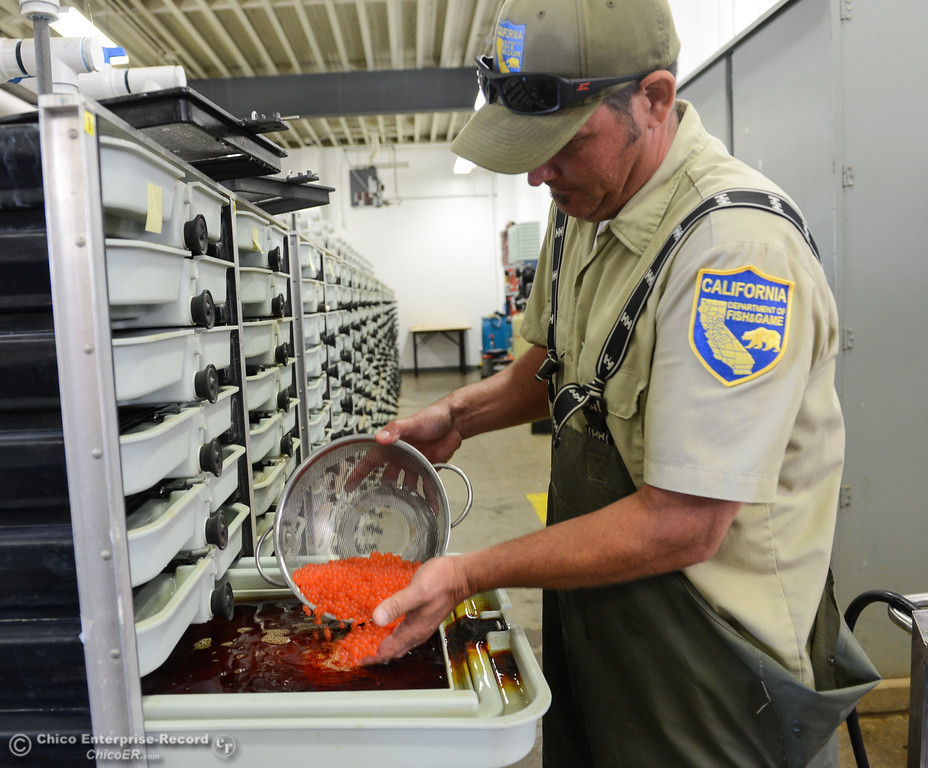 . Dave Lunsford puts fall run salmon eggs into an iodine solution as part of the hatching process during the 23rd Annual Oroville Salmon Festival September 23, 2017 at the Feather River Fish Hatchery in Oroville, California. (Emily Bertolino -- Mercury Register)