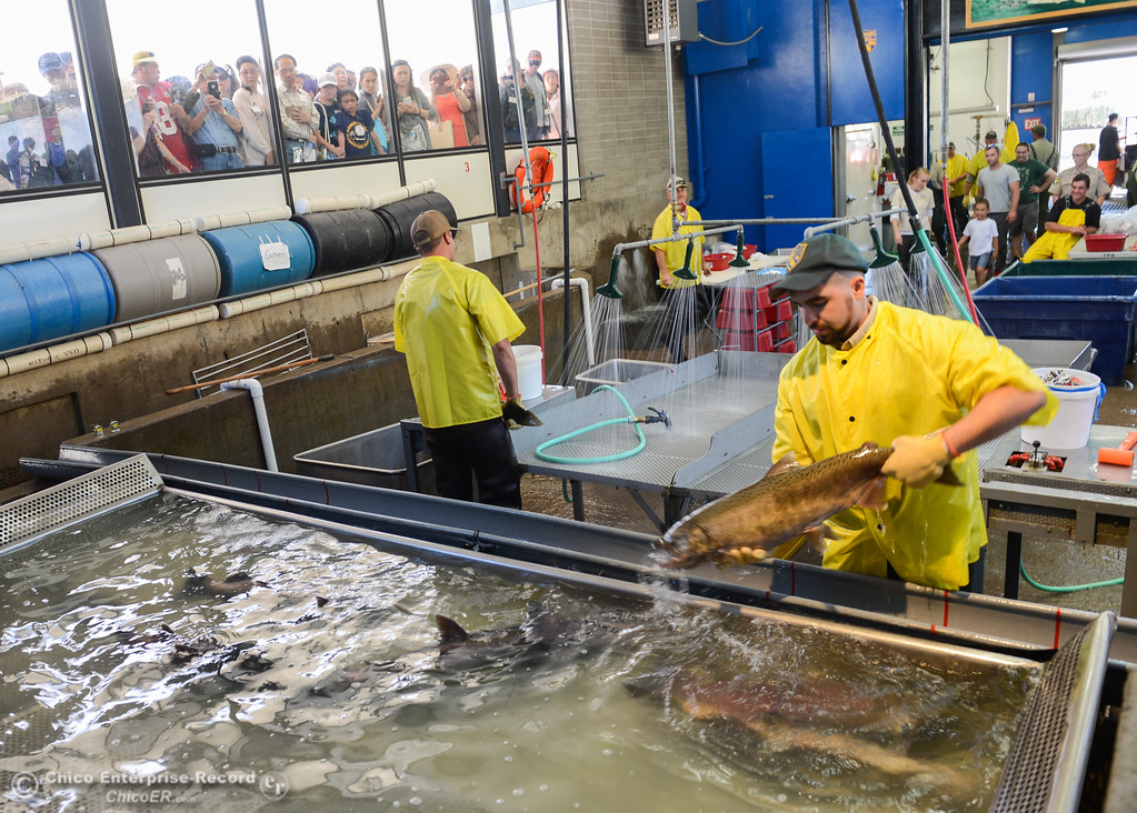 . Feather River Fish Hatchery employees work to harvest the eggs from the fall run salmon during the 23rd Annual Oroville Salmon Festival September 23, 2017 in Oroville, California. (Emily Bertolino -- Mercury Register)