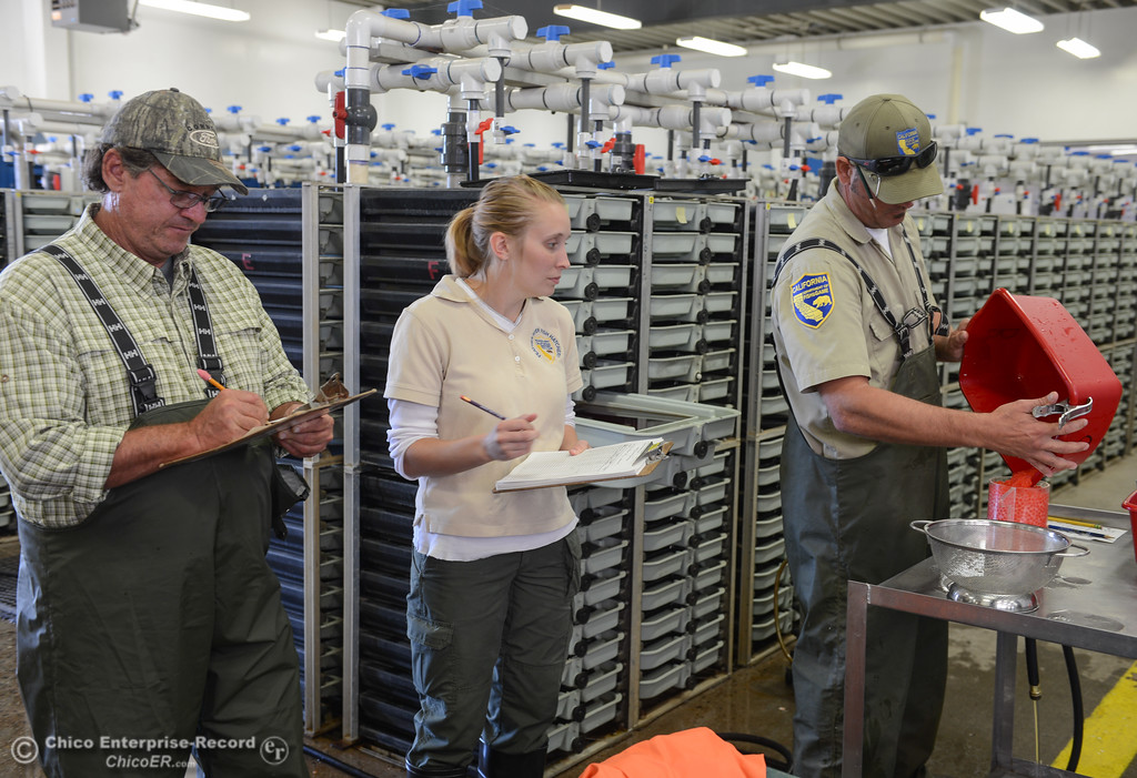 . Fishery technicians Thomas Kastner, Caitlin Greenwood and Dave Lunsford (left to right) work to collect and store fall run salmon eggs during the 23rd Annual Oroville Salmon Festival September 23, 2017 at the Feather River Fish Hatchery in Oroville, California. (Emily Bertolino -- Mercury Register)