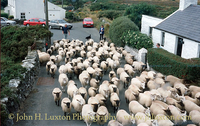 Sheep on the Road to the Sound - Isle of Man - August 1999