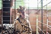 A chicken at the Guilford Fair (breed unkown); KELLY FLETCHER, REFORMER CORRESPONDENT