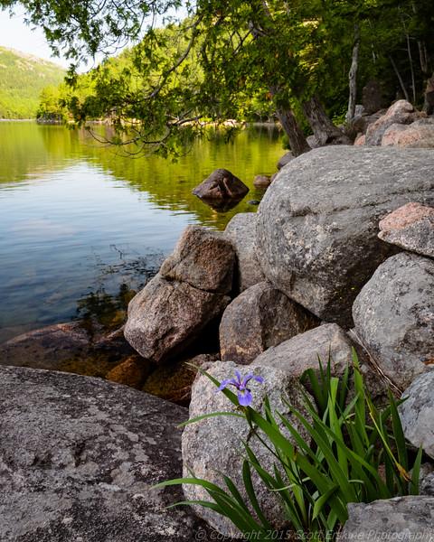 Lone Iris, Jordan Pond