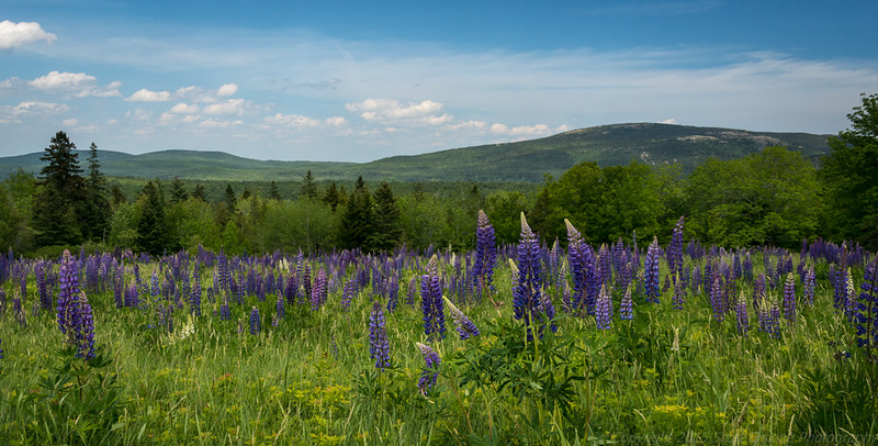Lupine Meadow near Beech Mountain
