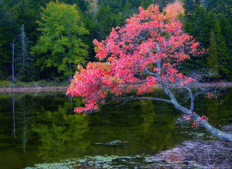 Maple Glory, Little Long Pond
