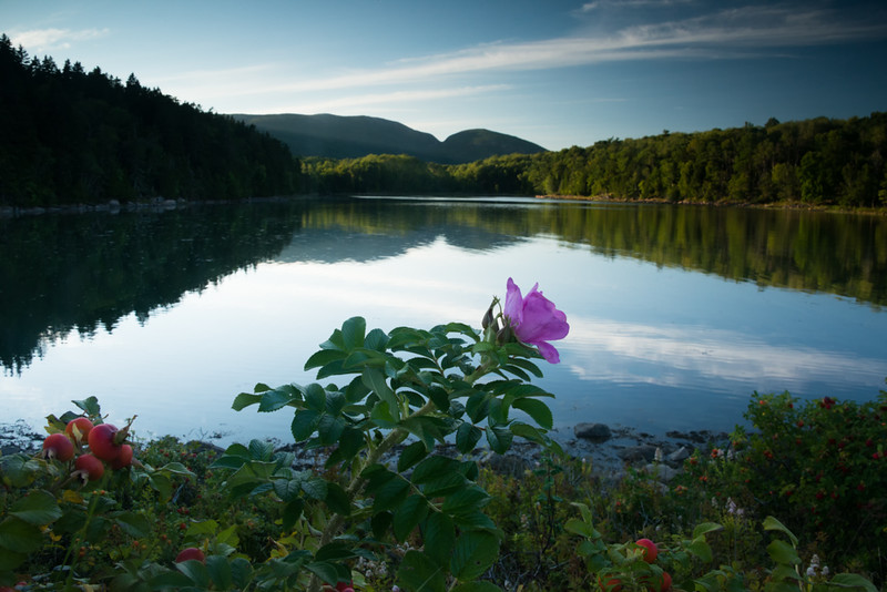 The Last Rugosa, Late Evening, Otter Cove.