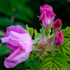 Rugosa and Dew