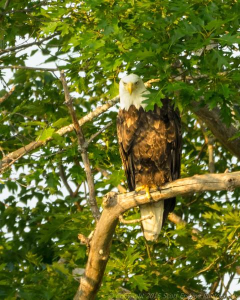 Eagle, Sunset, Somesville Maine