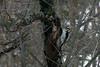Hairy Woodpecker, April 28, 2010
