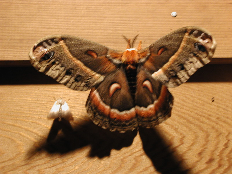 Cecropia (silkworm) moth (Hyalophora cecropia), female, the largest North American moth, common, nocturnal. It is a member of the family Saturniidae. - Harrietstown, Franklin County, NY - 6/25/2002 9:34PM