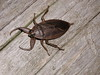 Lethocerus americanus, giant water bug, Harrietstown, Franklin County, NY - found at home away from water - Harrietstown, Franklin County, NY - 9/17/2002 7:00PM