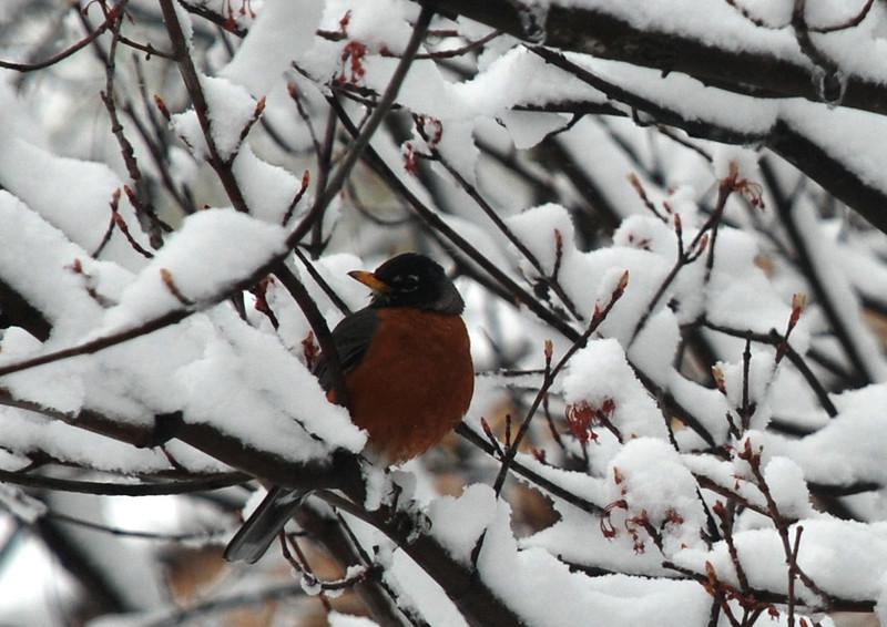 Robin in tree, April 28, 2010