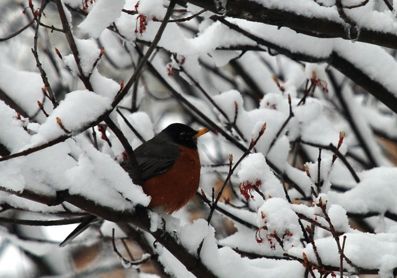 Robin in tree, April 28, 2010