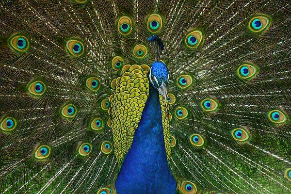 Print Peacock-4