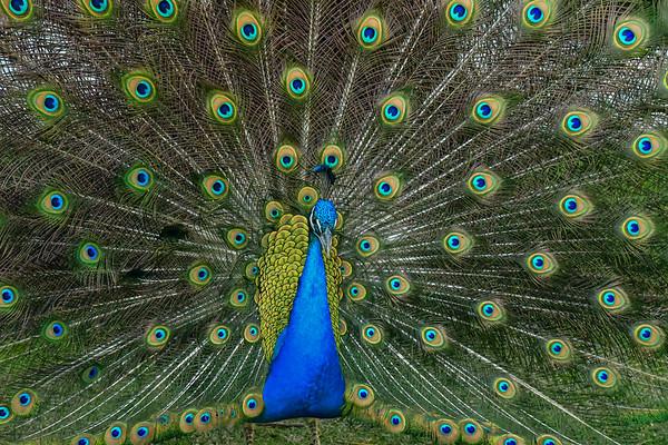 Print Peacock-7