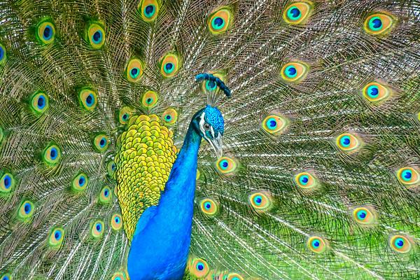 Print Peacock-10