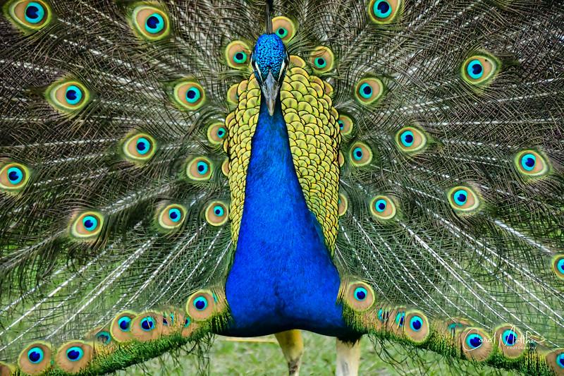 Proud Peacock-62
