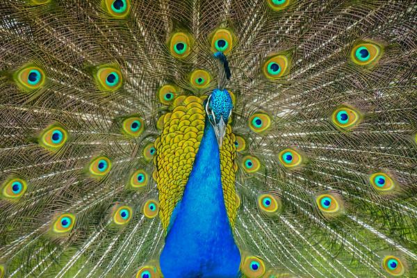 Print Peacock-2