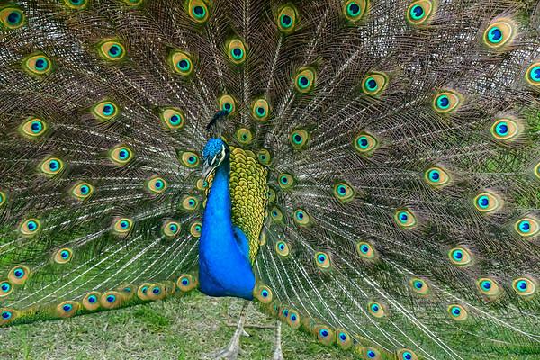 Print Peacock-8