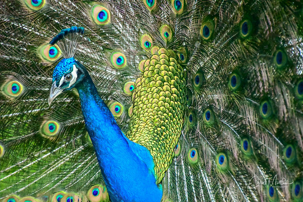 Proud Peacock-39