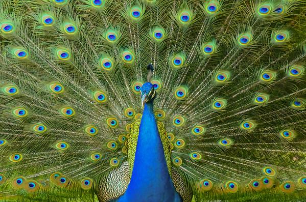 Print Peacock
