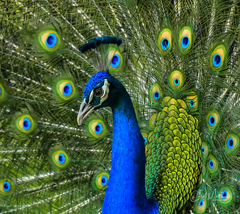 Proud Peacock-6
