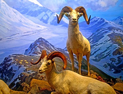 The American Big Horn Sheep
