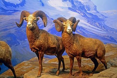 Rams or Big Horn Sheep on Display at The Museum pf Natural History