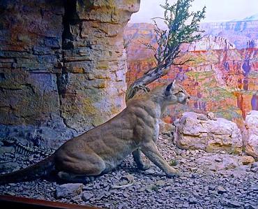 The Cougar  or Mountain Lion