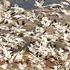 Sandhill Cranes & Snow Geese