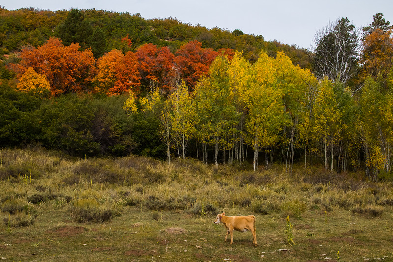 Kolob Terrace Fall Color, near Zion National Park.