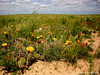Cacti blossoms on the prairie in June (Pawnee National Grasslands)