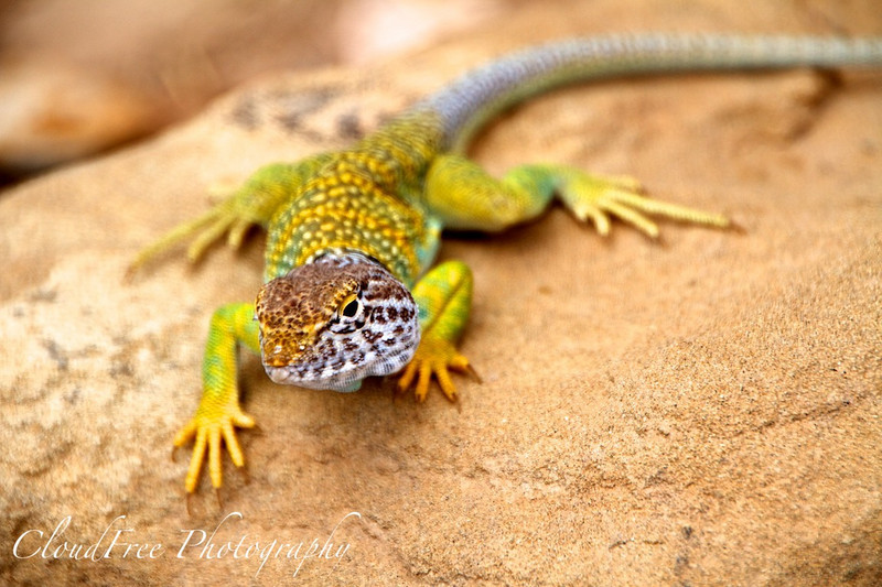 Collared lizard at Tsin Kletsin - about 30 inches long