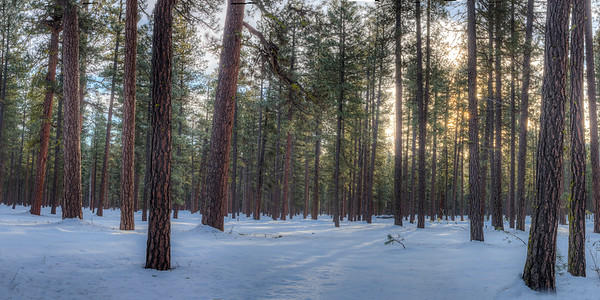 Pines in Oregon Forest