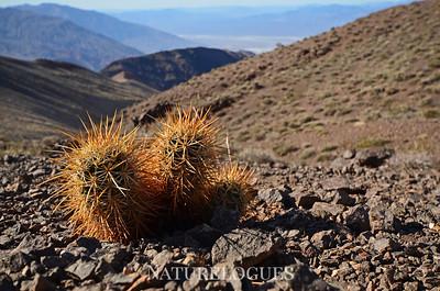 Dante's Peak Cactus