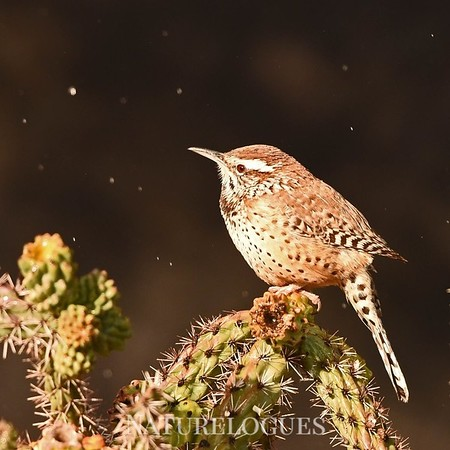 Cactus Wren in Snow
