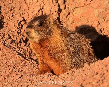 Yellow-bellied Marmot, Capitol Reef National Park, Utah