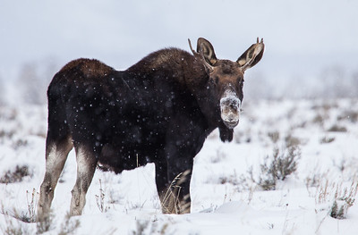 A young bull moose glances back in my direction during his trek through the snow, searching for food.