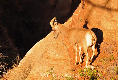 Big Horn Sheep, Zion