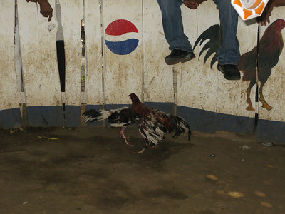 cock fight in a village near leon  Nicaragua