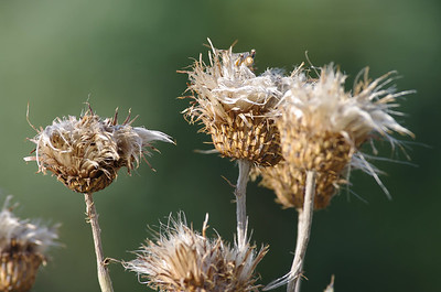Thistle in the Badlands